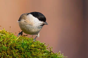 Willow Tit by OkiGraphics