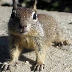 Curious Squirrel by iainhallam