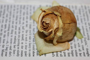 Vintage Rose by elliotbuttons
