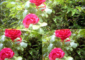Lomo Roses by elliotbuttons