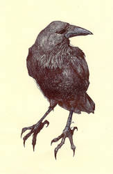 Crow Study by Chobek