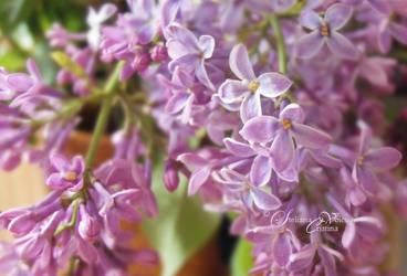 lilac in bloom 2014 by HikarinoChou