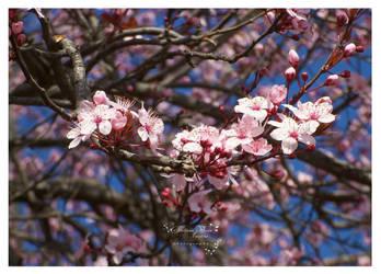 flori de cires1 by HikarinoChou