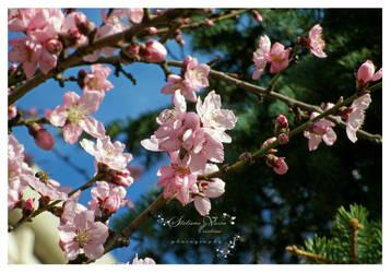 flori de piersic by HikarinoChou