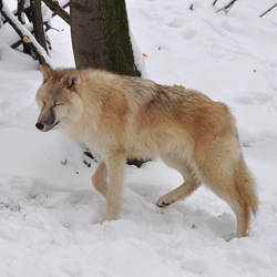 wolf stock 1 by Sikaris-Stock