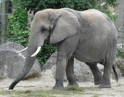 elephant stock 1 by Sikaris-Stock