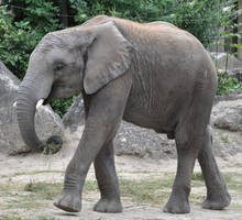 elephant stock 2 by Sikaris-Stock