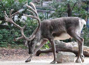 reindeer stock 1 by Sikaris-Stock