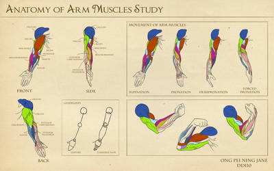Anatomy of Arm Muscles Study by janegreentea