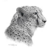 Cheetah Study by denismayerjr