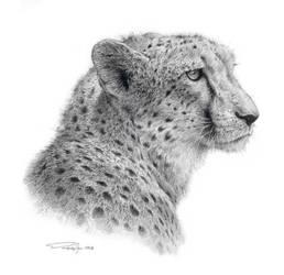 Cheetah Study by denismayerjr