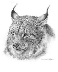 Lynx Portrait Study by denismayerjr