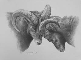 Big Horn Sheep Study by denismayerjr