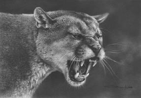 Cougar  Study by denismayerjr