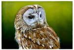 Tawny Owl by Heliocyan