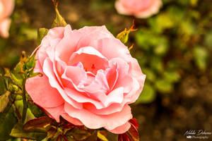 Like a rose by mydarkeyes