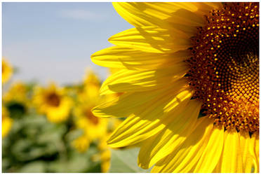 Sunflower field by zzuzzi