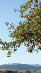 Malus by Diox15