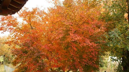 Acer palmatum 1 by Diox15