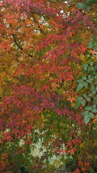 Acer palmatum 2 by Diox15