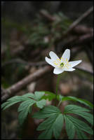 Anemone flower by tysmin