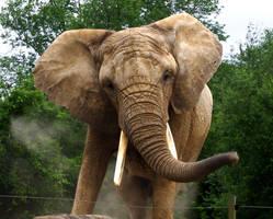 African Elephant - Toronto Zoo by mariannemason