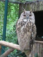 Eurasian Eagle Owl by ankewehner