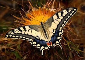 swallowtail by nakitez