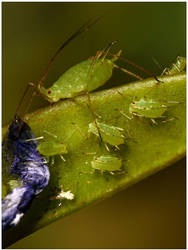 aphid family by nakitez