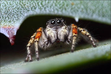 jumping spider by nakitez