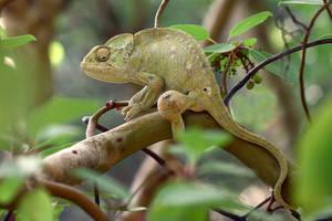 Chameleon I by nakitez
