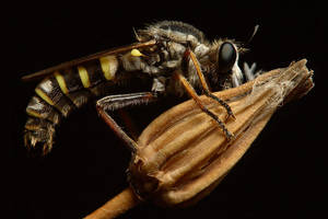 sleeping robberfly by nakitez