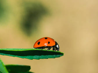 Another ladybug by atomkat