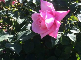 Ish Pink.... by SnowChibz