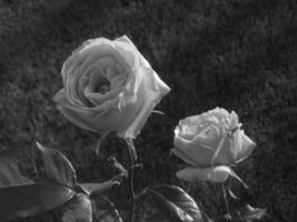 Two Roses by Caligari-87