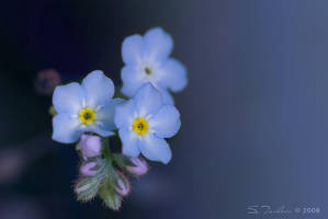 Forget-me-not by tangratannakra