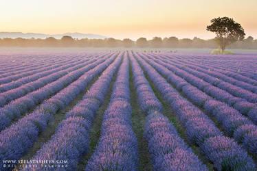 Lavender field 2 by tangratannakra
