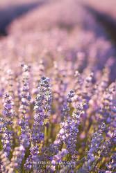 Lavender by tangratannakra