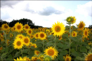 yellow field by redreddaisy