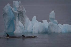 Killer Whales by DPaZZa