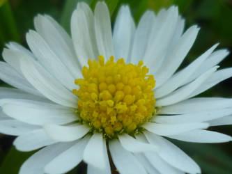 Miss Daisy by Hazelino