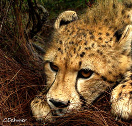Slow Cheetah by cdahmer
