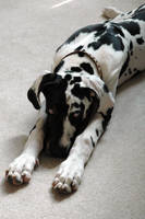 Great Dane by bethanyncs