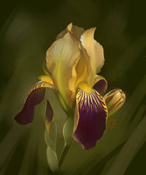 iris by GaudiBuendia