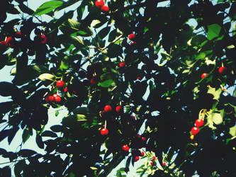 Cherry tree by CVRD