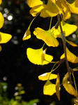 Gingko Up Close by MissQuinzel