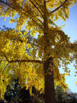 Gingko Tree in Autumn Glory by MissQuinzel