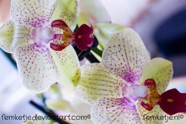 Orchid by femketje