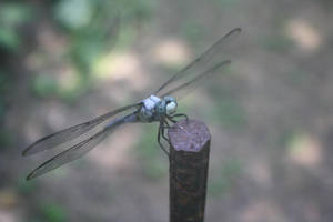 dragonfly 02 by goodiebagstock