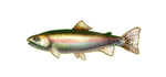 Rainbow Trout by TokoTime